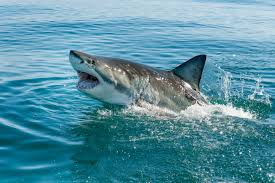 Some Tips On How To Survive A Shark Attack